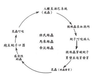 血絲蟲生活史(如下說明)